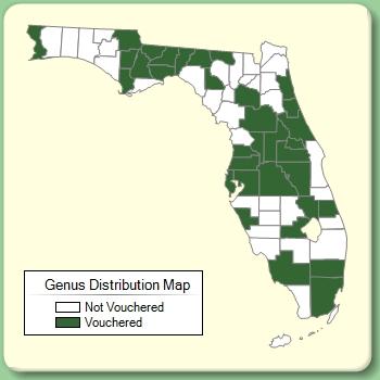 Xanthosoma - Genus Page - ISB: Atlas of Florida Plants
