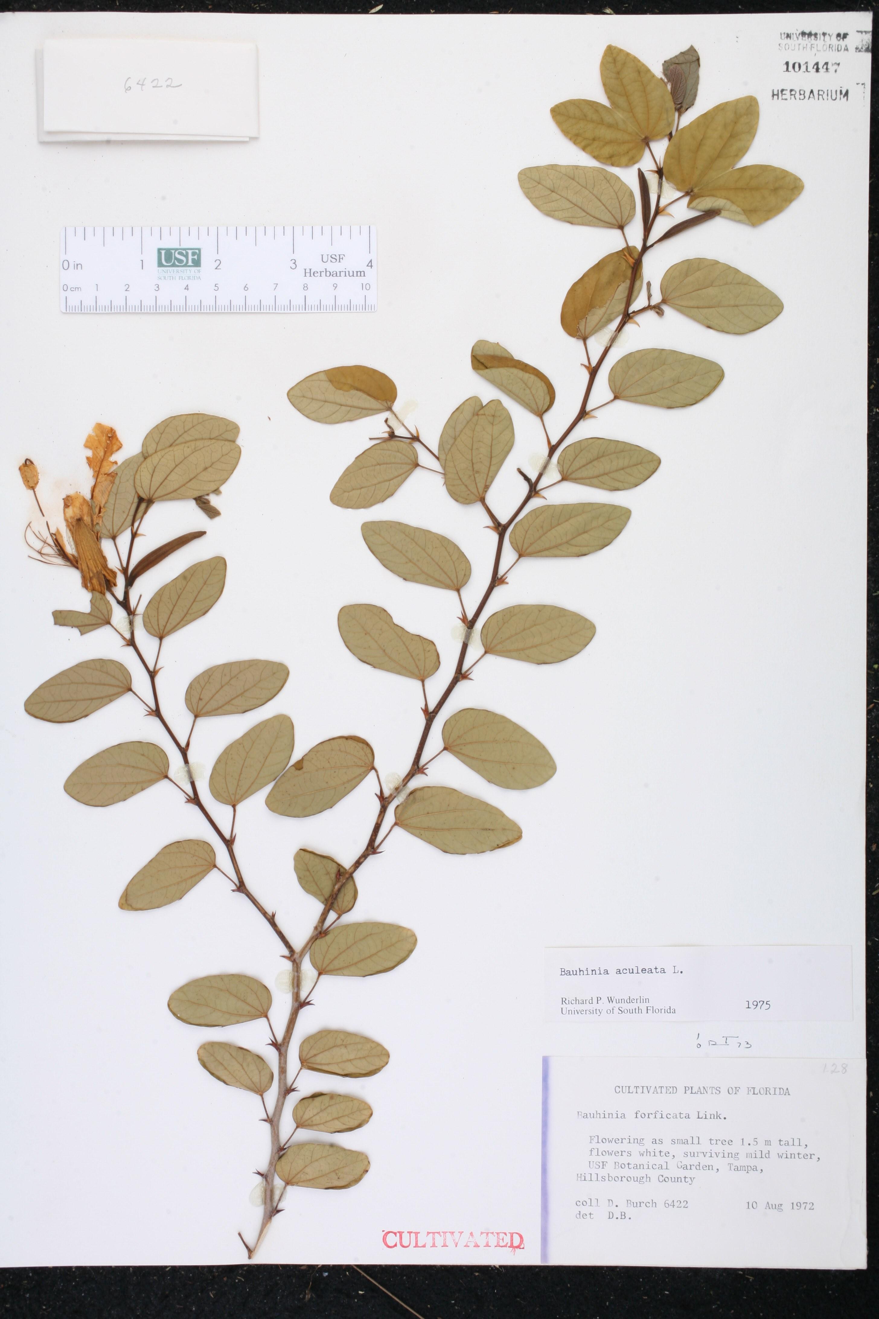 herbarium specimen details isb atlas of florida plants