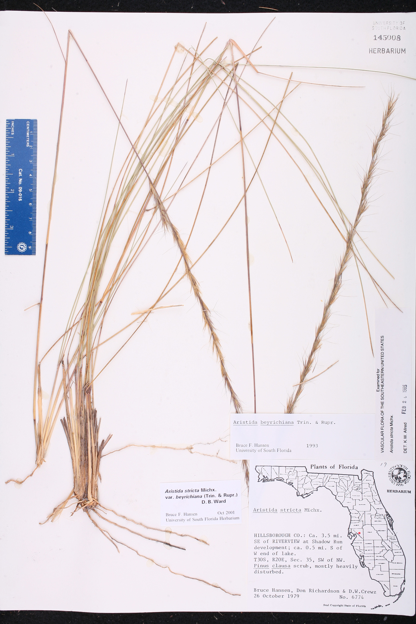 aristida stricta species page isb atlas of florida plants