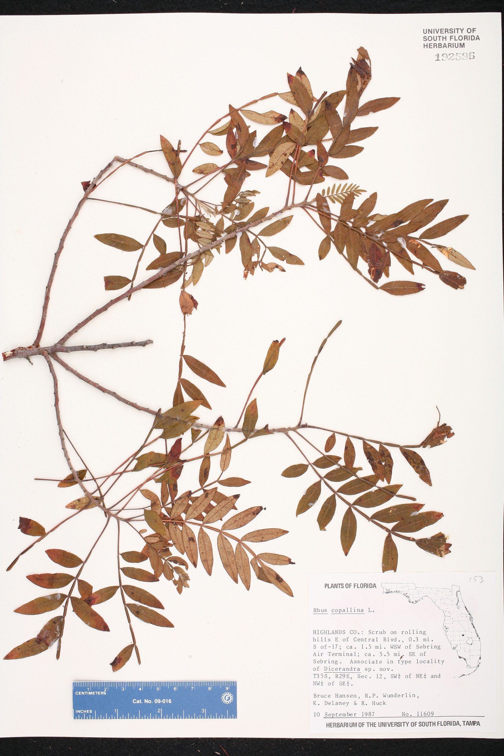 company dating rhus Find the perfect rhus toxicodendron stock photo huge collection, amazing choice, 100+ million high quality, affordable rf and rm images no need to register, buy now.