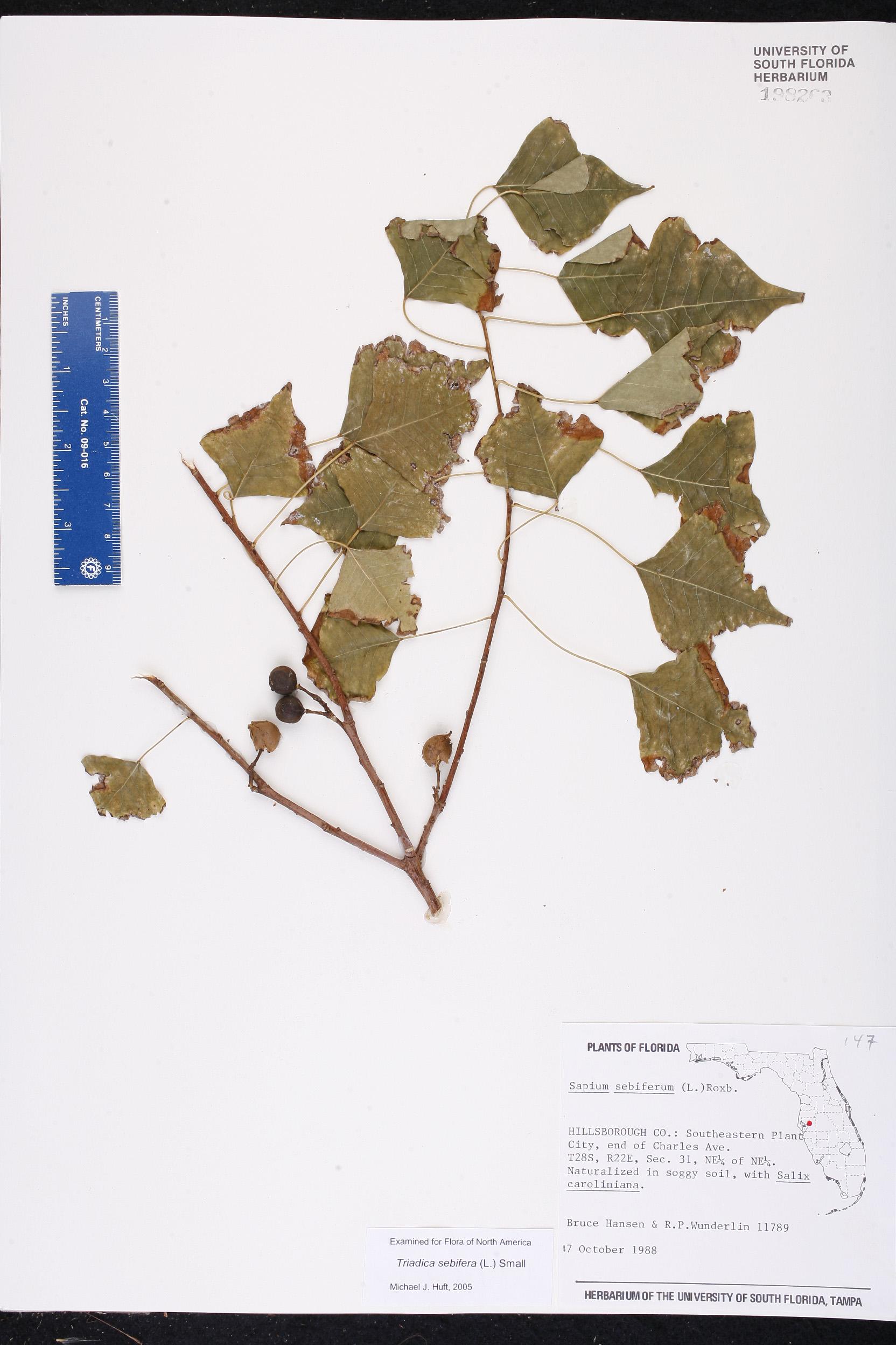 Triadica Sebifera Species Page ISB Atlas Of Florida Plants - Florida map plant city