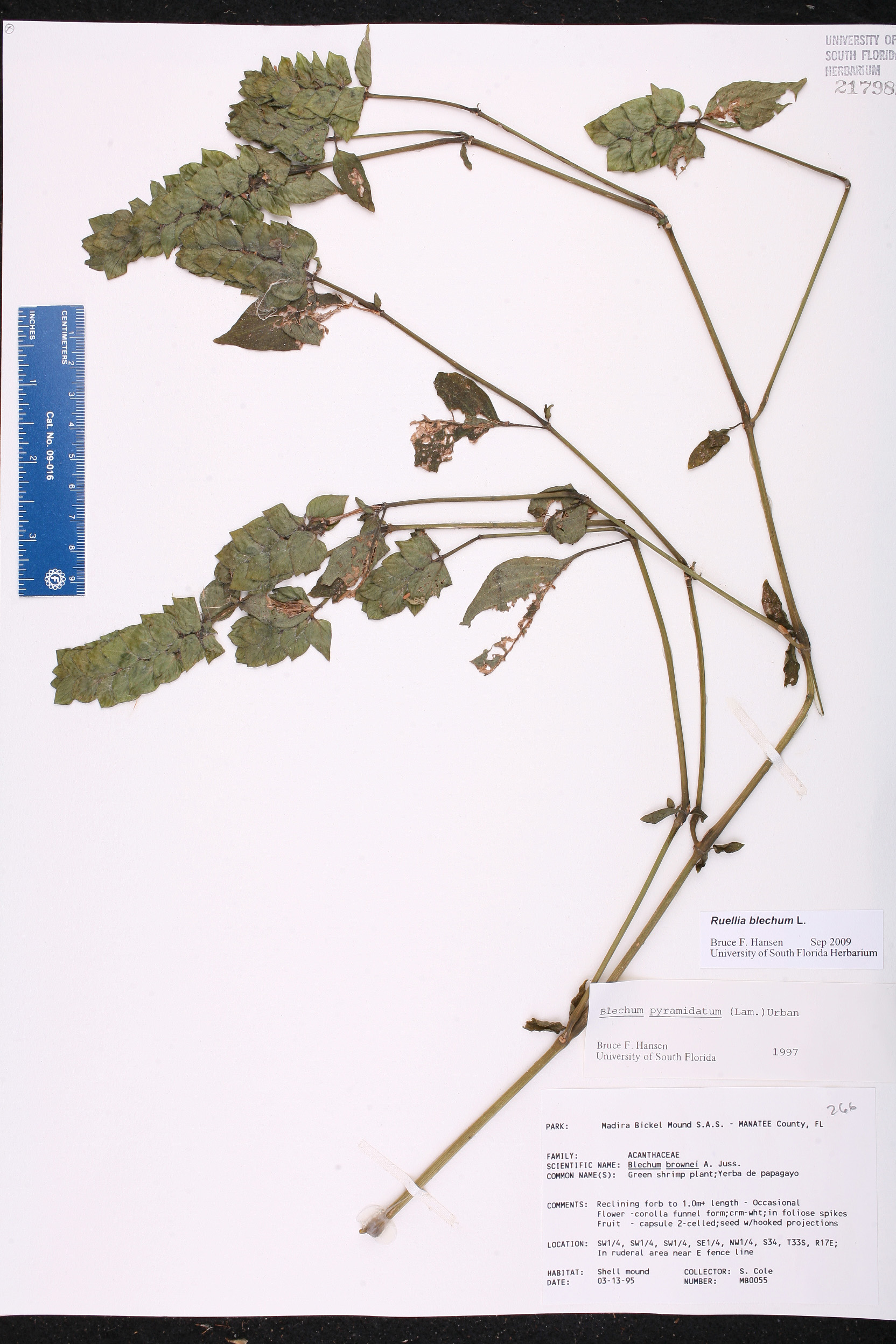 Ruellia Blechum Species Page ISB Atlas Of Florida Plants - Usf location map