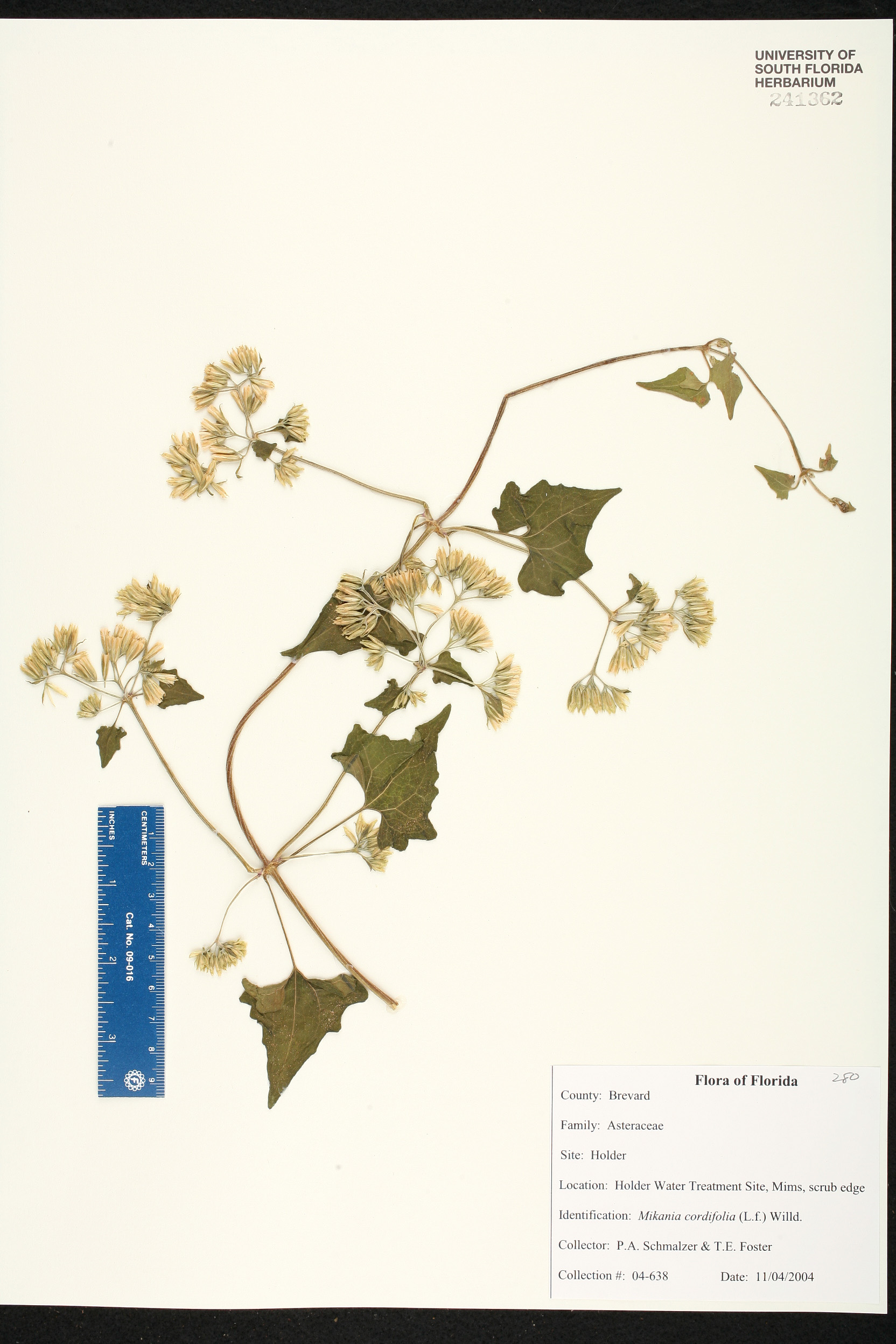 Mikania Cordifolia Species Page ISB Atlas Of Florida Plants - Usf location map