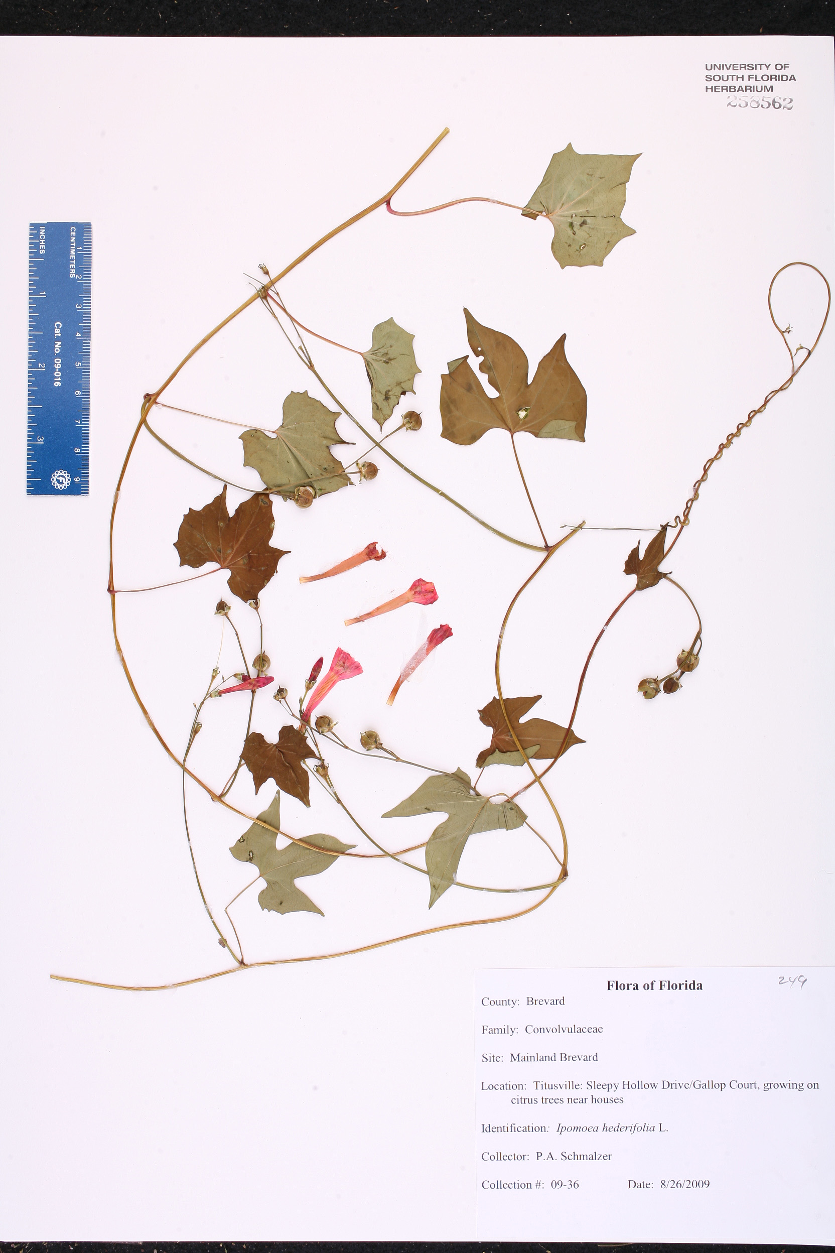 Ipomoea Hederifolia Species Page ISB Atlas Of Florida Plants - Usf location map
