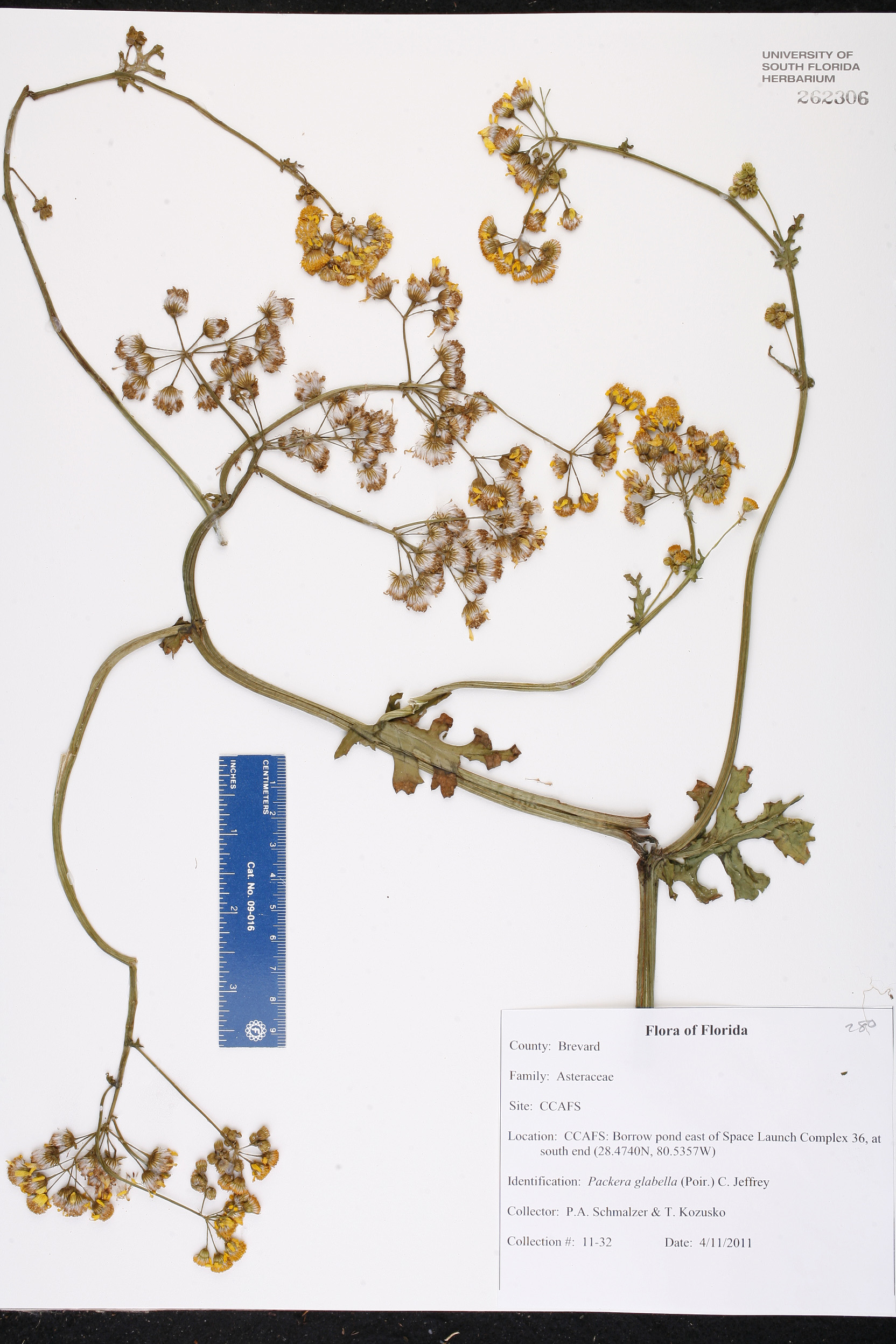 Packera Glabella Species Page ISB Atlas Of Florida Plants - Usf location map