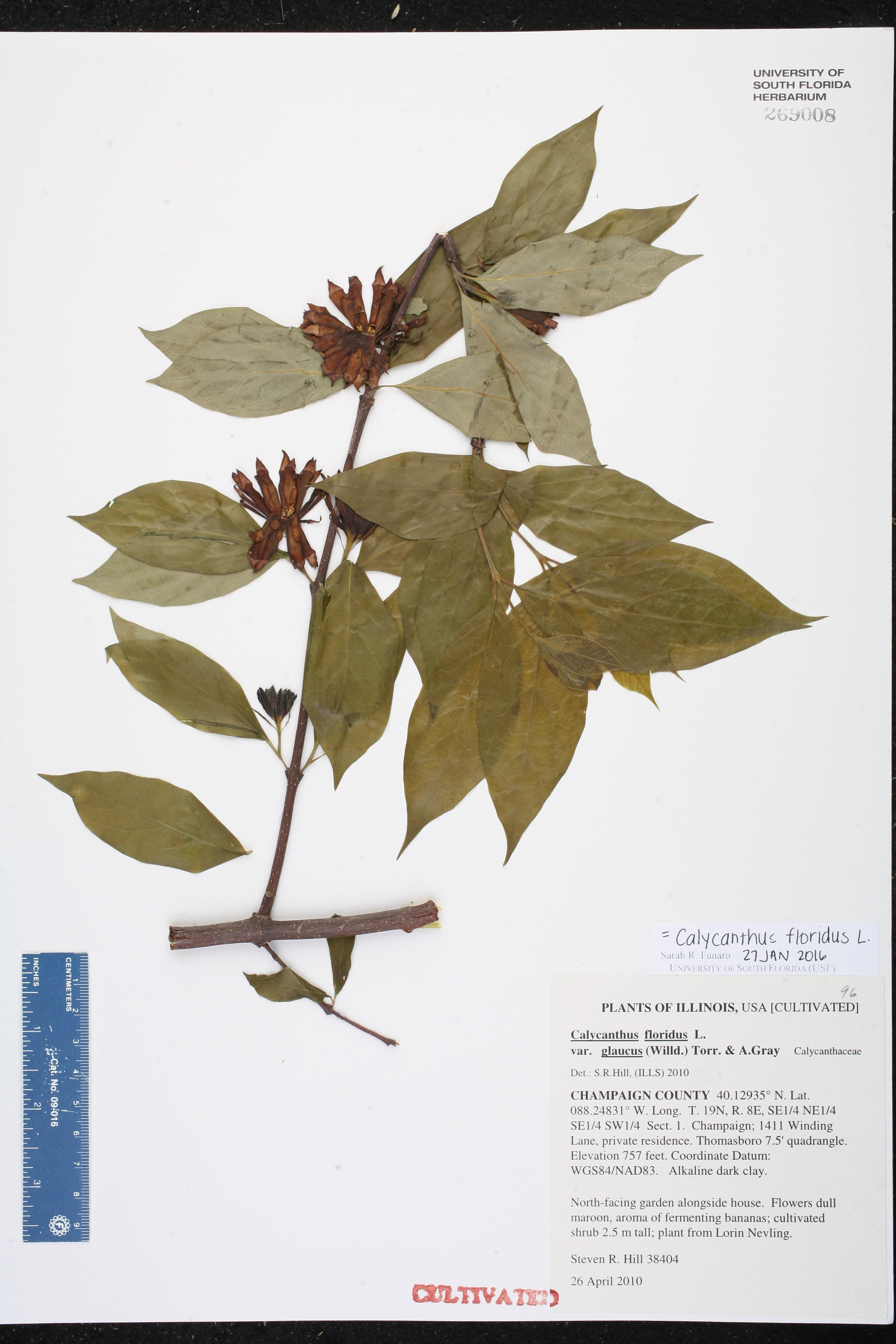 Illinois champaign county thomasboro - Family Name Calycanthaceae