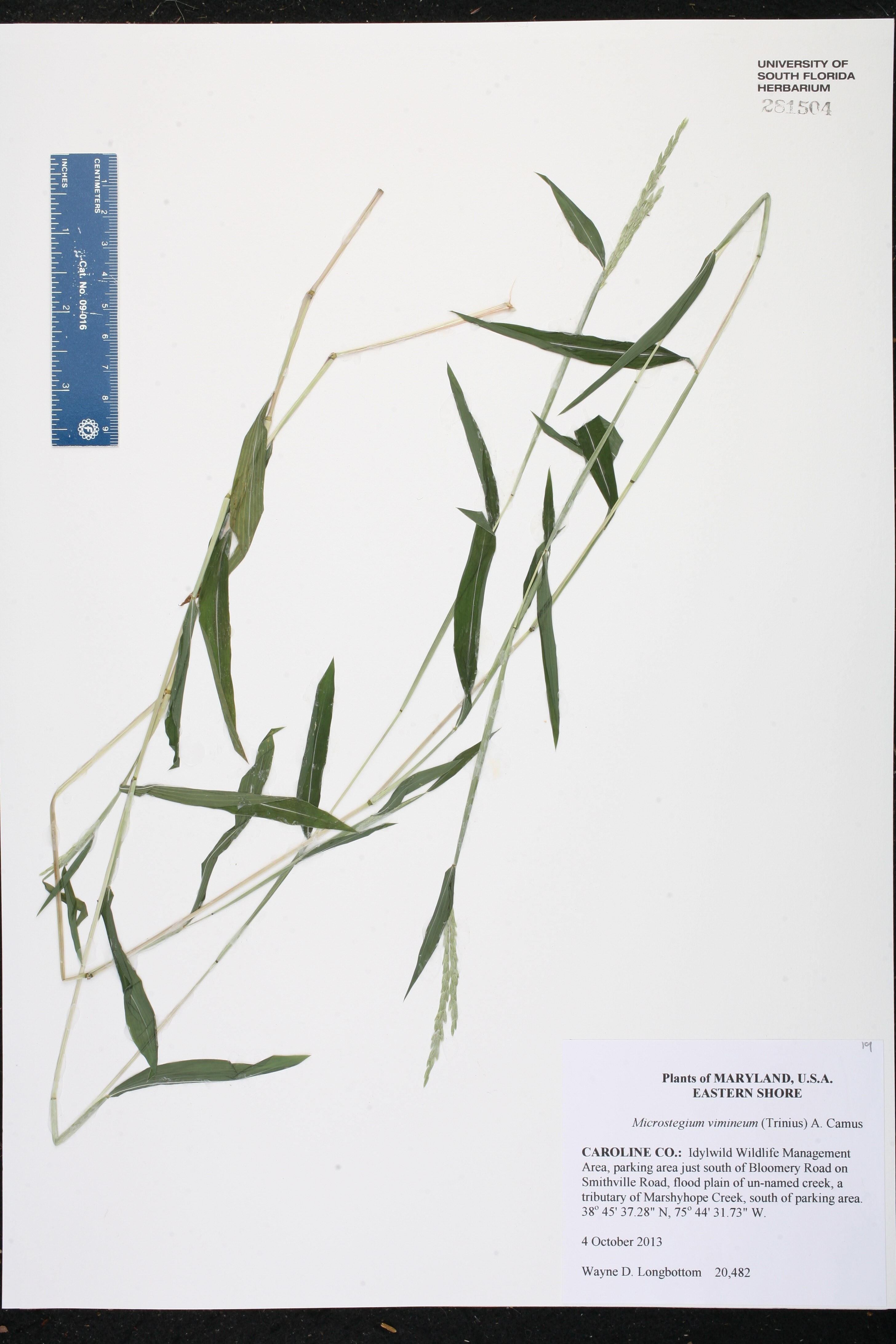 Microstegium vimineum - Species Page