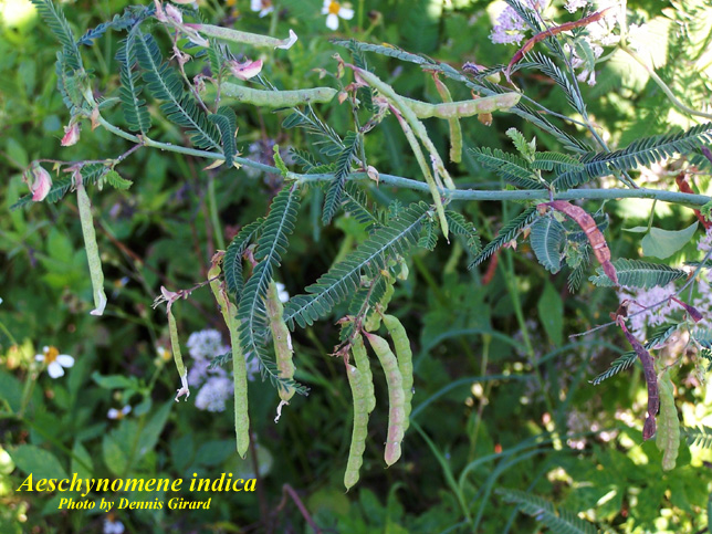 Indian Jointvetch