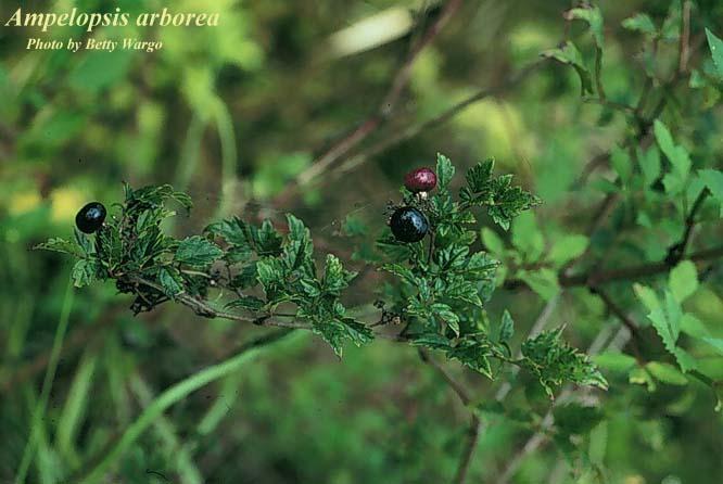 Peppervine