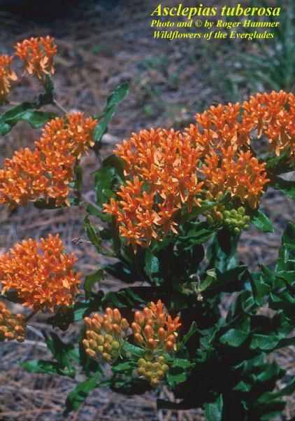 Butterflyweed; Butterfly Milkweed