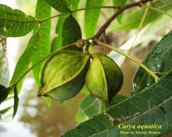 florida native plant society blog  plant profile  pignut hickory  carya glabra