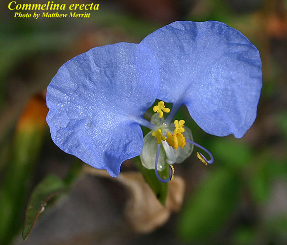 Whitemouth Dayflower