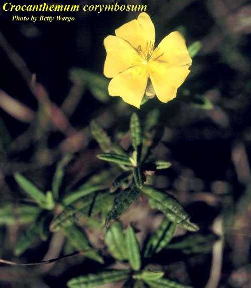 Pinebarren Frostweed