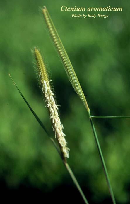 Toothachegrass
