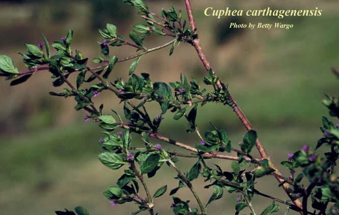 Colombian Waxweed