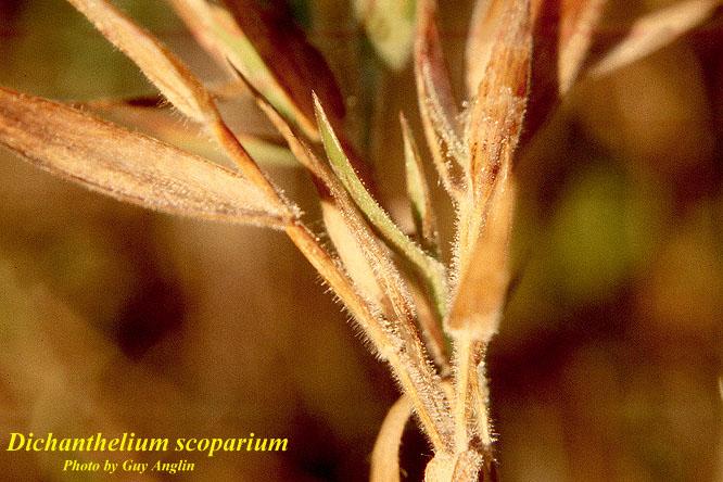 Velvet Witchgrass