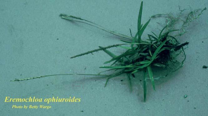 Centipedegrass