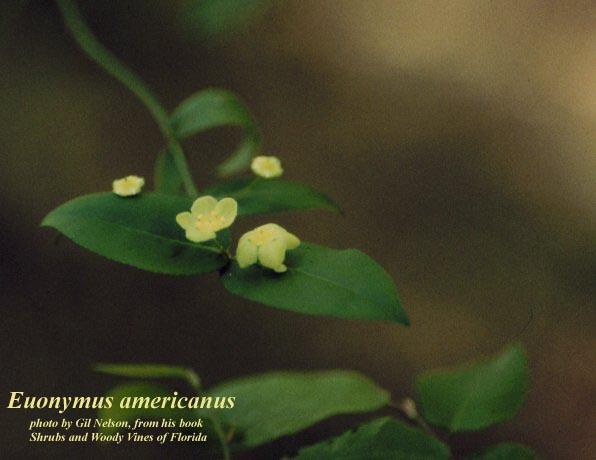 American Strawberrybush; Hearts-a-bursting