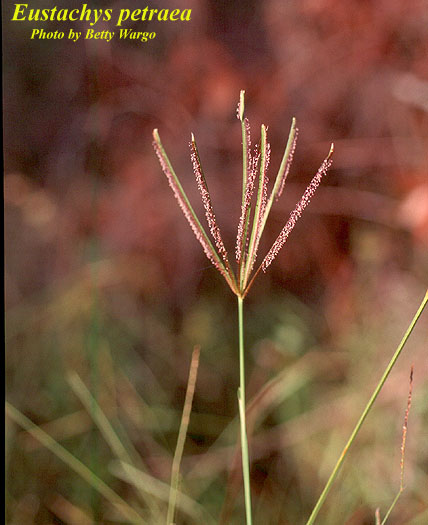 Pinewoods Fingergrass