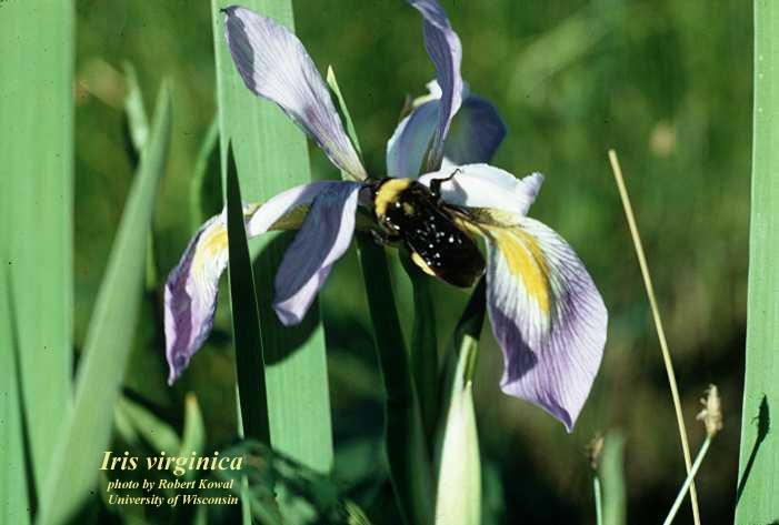 Virginia Iris; Blue Flag Iris