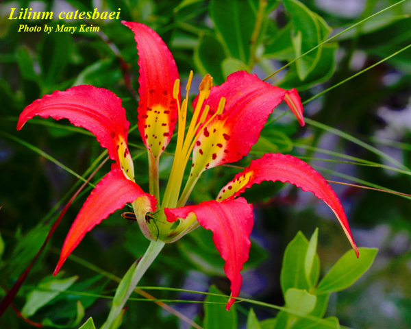 Catesby's Lily; Pine Lily