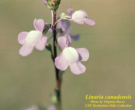 Canadian Toadflax