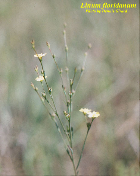 Florida Yellow Flax