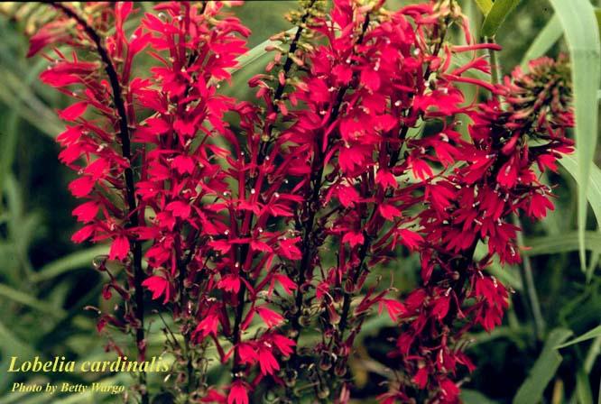 Cardinalflower