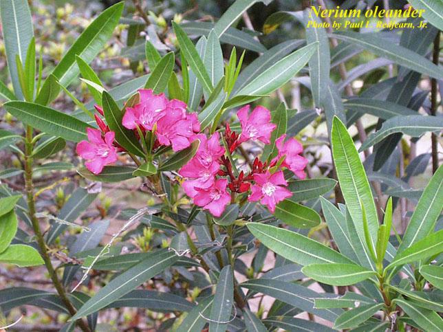 nerium oleander photos isb atlas of florida plants. Black Bedroom Furniture Sets. Home Design Ideas