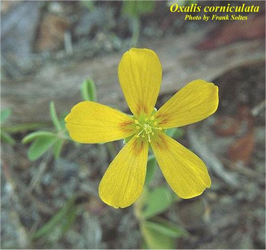Common Yellow Woodsorrel; Creeping Woodsorrel