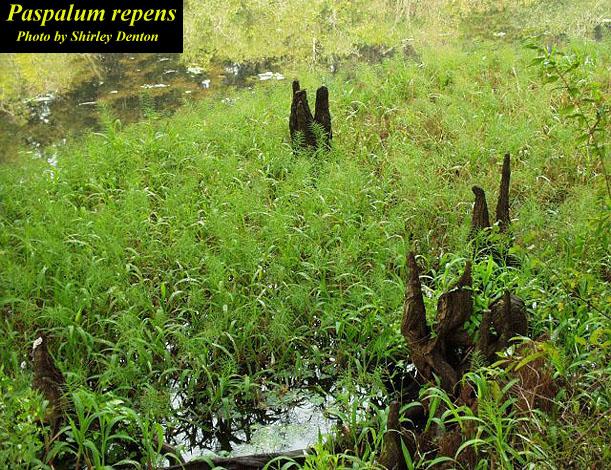 Water Paspalum