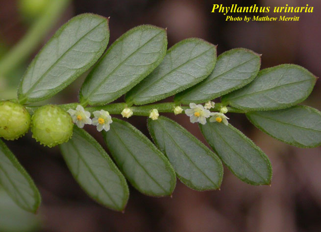 Kết quả hình ảnh cho Phyllanthus urinaria