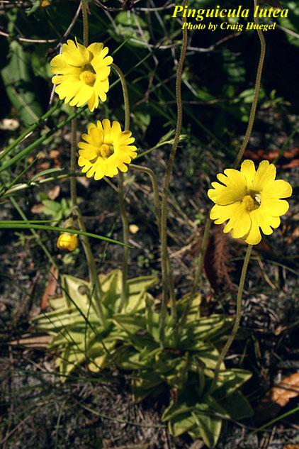 Yellow Butterwort