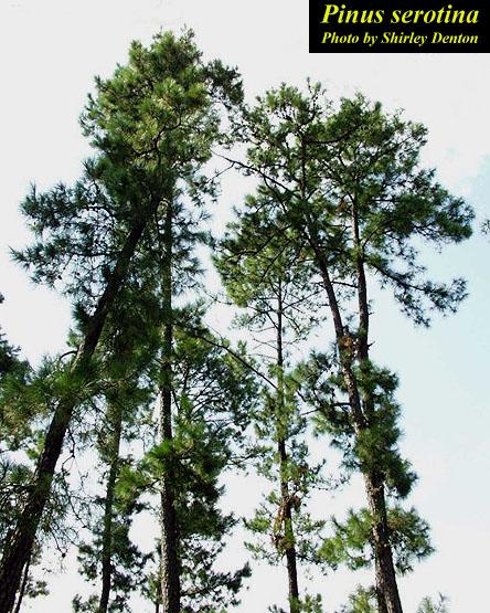 Pond Pine