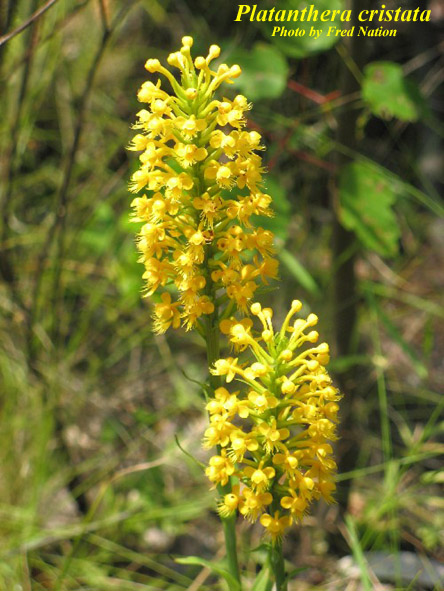 Crested Yellow Orchid; Crested Fringed Orchid