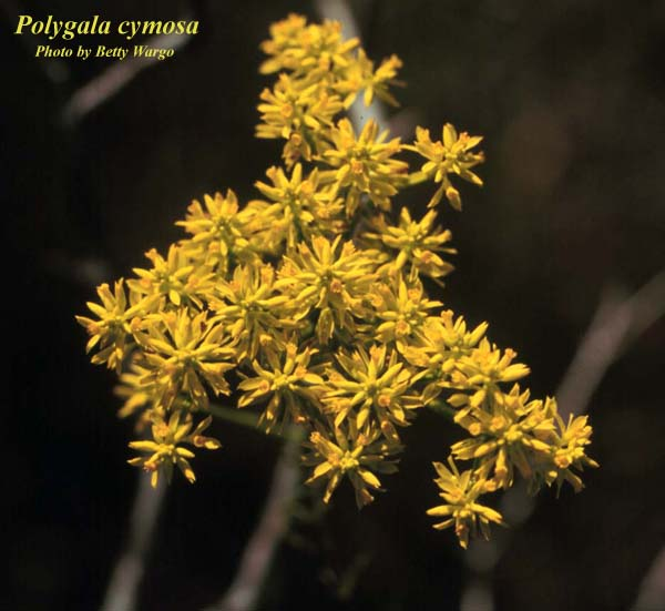 Tall Pinebarren Milkwort