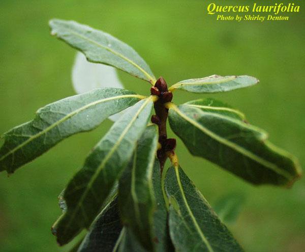 Laurel Oak; Diamond Oak