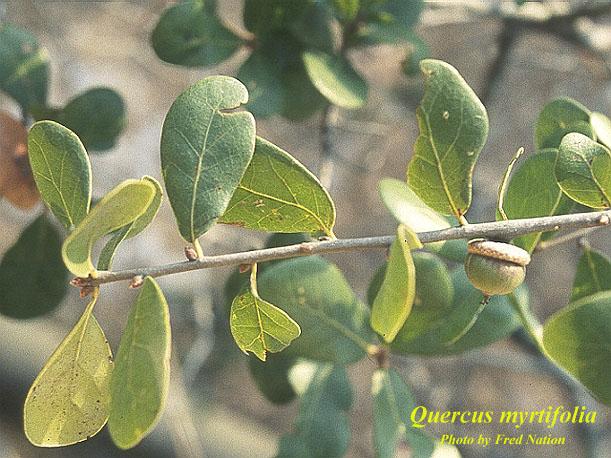 Myrtle Oak