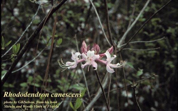 Sweet Pinxter Azalea; Mountain Azalea