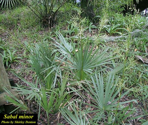 Dwarf Palmetto; Bluestem Palm