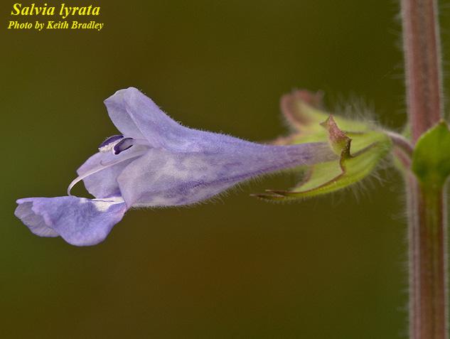 Lyreleaf Sage