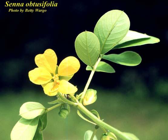 Coffeeweed; Sicklepod