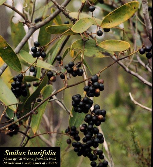 Laurel Greenbrier; Bamboo Vine