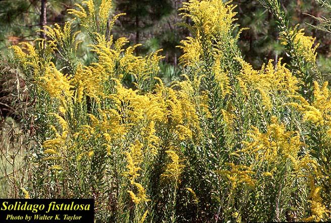Pinebarren Goldenrod