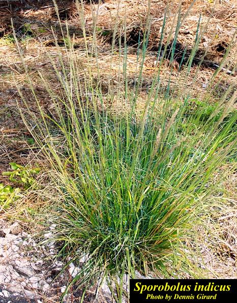 Smutgrass