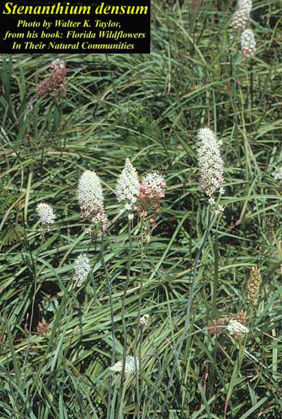 Crowpoison; Osceola's Plume
