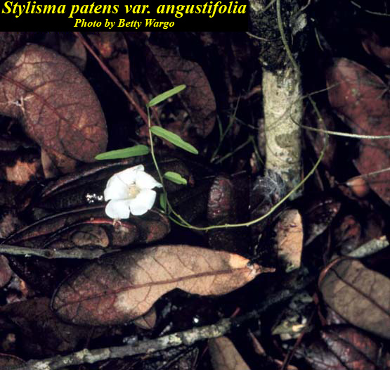 Coastalplain Dawnflower
