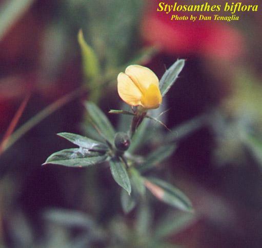 Sidebeak pencilflower