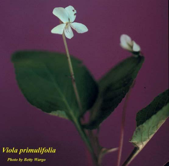 Primroseleaf Violet