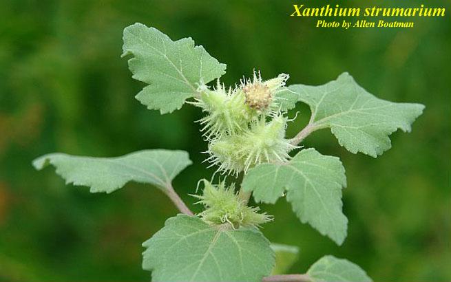 Xanthium strumarium - Photos - ISB: Atlas of Florida Plants
